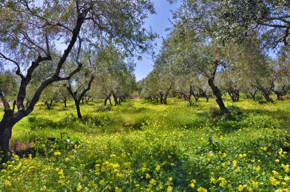 fruhling ywischen olivehaine