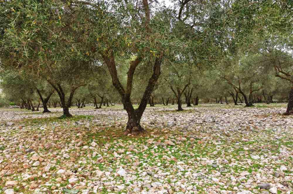 trokenheit im olivenhaine
